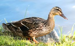 Beau canard d'étang photographie stock