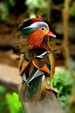 Beau canard de mandarine Photos libres de droits