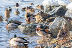 Beau canard de mandarine se dorant au soleil en hiver Beaucoup de canards flottant tout près d'une sorte différente photo libre de droits