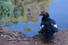 beau canard par le lac sur le bord de lac photo stock