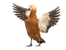 Beau canard rouge lumineux femelle Ogar photos libres de droits