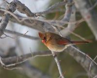 Beau cardinal féminin dans l'arbre de chêne Photographie stock
