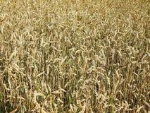 Beau champ de blé d'or, Lithuanie Photographie stock
