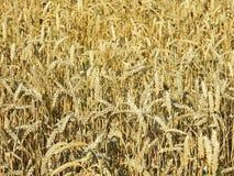 Beau champ de blé d'or, Lithuanie Photo libre de droits