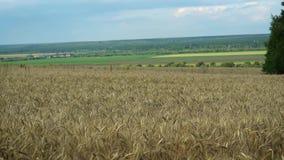 Beau champ de blé d'or par temps calme un jour ensoleillé d'été banque de vidéos
