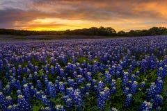 Beau champ de bluebonnet de Texas dedans à la récréation de courbure de Muleshoe photo stock