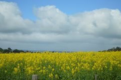 Beau champ de fleur jaune Photos stock