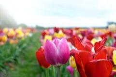 Beau champ de tulipes aux Pays-Bas photographie stock libre de droits