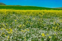 Beau champ de viol et ciel bleu d'espace libre comme fond Image stock