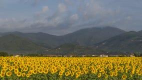 Beau champ des tournesols avec dans le fond Monte Serra couverte par un nuage, Pise, Toscane, Italie photo stock