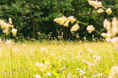 Beau champ herbeux chaud Forest Green Sunlight Yellow Weeds C photos stock