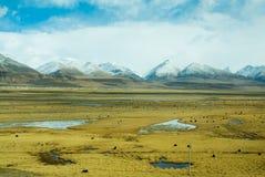 Beau champ jaune avec le fond de yaks et de montagnes Images libres de droits