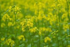 Beau champ jaune de moutarde dans la zone rurale Photos stock