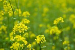 Beau champ jaune de moutarde dans la zone rurale Photographie stock libre de droits