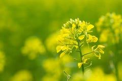 Beau champ jaune de moutarde dans la zone rurale Photo libre de droits