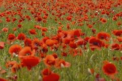 Beau champ rouge du ` s de pavot dans l'heure d'été Photo libre de droits