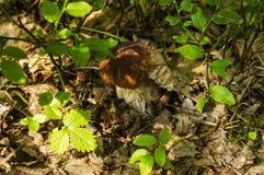 Beau champignon blanc dans les grands bois Photo stock