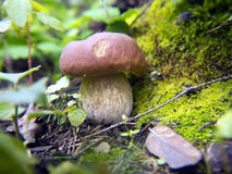 Beau champignon dans la forêt Photographie stock libre de droits