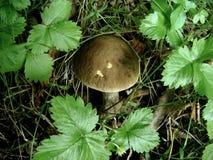 Beau champignon dans les bois parmi les feuilles Photo stock