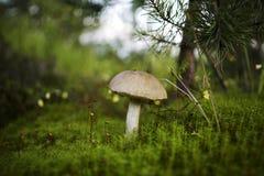 Beau champignon de couche Photo libre de droits
