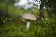 Beau champignon de couche Image libre de droits