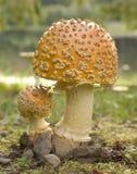 Beau champignon de couche Images stock