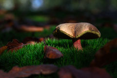 Beau champignon de couche photos libres de droits