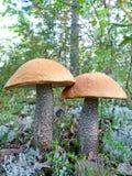 Beau champignon de couche du boletus deux Photographie stock