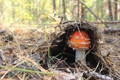 Beau champignon de couche rouge Image stock