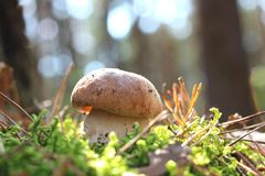 Beau champignon de forêt de pin en automne sur le fond de bokeh photographie stock