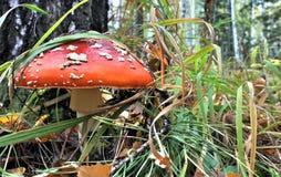 Beau champignon rouge repéré en clairière de forêt Photo libre de droits