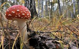 Beau champignon rouge repéré en clairière de forêt Photos libres de droits