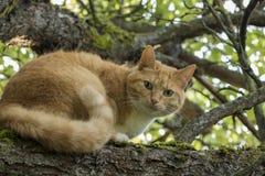 Beau chat à tête rouge avec les yeux verts sur une branche photo libre de droits