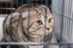 Beau chat écossais de race dans la cage à l'exposition Images stock