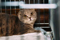 Beau chat écossais de race dans la cage à l'exposition Photo stock