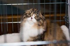 Beau chat écossais de race dans la cage à l'exposition Photo libre de droits