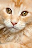 Beau chat Images libres de droits