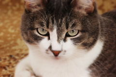 Beau chat Photographie stock libre de droits