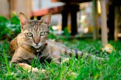 Beau chat adorable de couleur de léopard se reposant sur l'herbe photos libres de droits