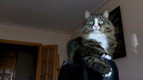Beau chat adulte se reposant au dos du fauteuil clips vidéos
