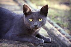 Beau chat argenté images stock
