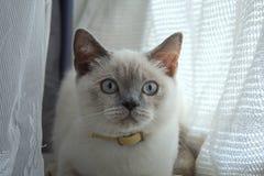 Beau chat aux yeux bleus Photographie stock libre de droits