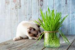 Beau chat avec l'herbe féline Cat Grass pour la santé de chat pet photographie stock