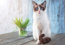 Beau chat avec l'herbe féline Cat Grass pour la santé de chat pet images libres de droits