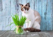 Beau chat avec l'herbe féline Cat Grass pour la santé de chat pet photo stock
