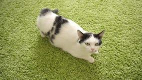 Beau chat blanc domestique avec des anthracnoses pendant l'oestre dans la perspective du tapis vert, saison d'accouplement banque de vidéos