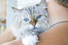 Beau chat blanc sur l'épaule son propriétaire Photographie stock