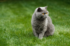 Beau chat bleu britannique de Shorthair Photos libres de droits