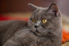 Beau chat britannique argenté de shorthair Photo stock