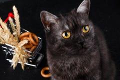 Beau chat britannique foncé j'ai les yeux expressifs lumineux photos stock